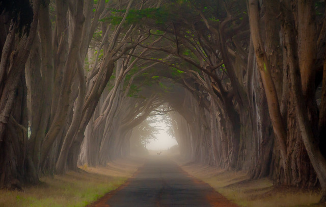 Cypress Tunnel, Mist, Deer, Point Reyes, #311