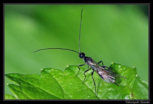 Braconidae/Braconinae