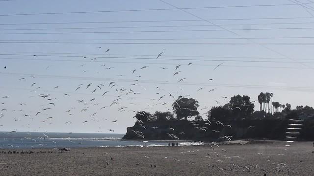 MVI_4158 terns flying santa barbara beach 25s