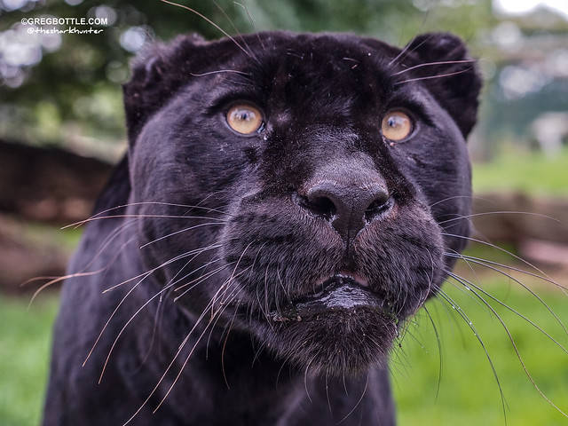 Black Jaguar up close