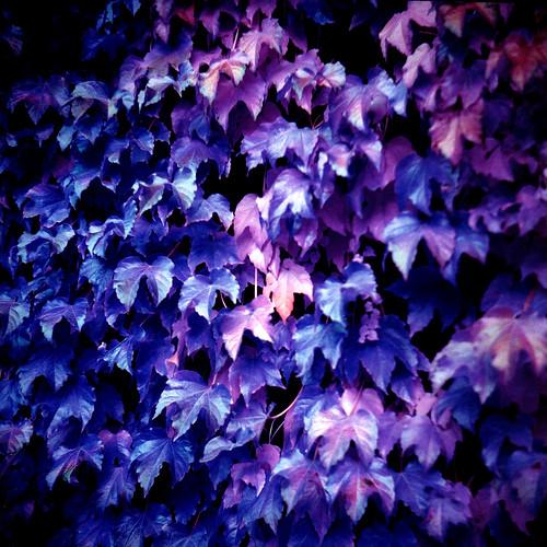 Alien Autumn - Violet Ivy