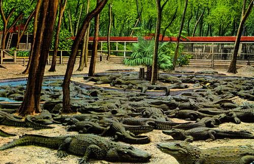 Alligators at the Ostrich Farm in St. Augustine, Florida