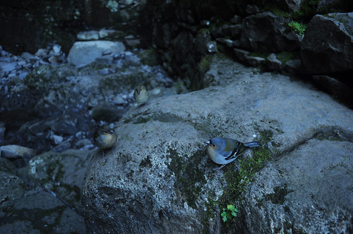 Tame finches at 25 Fontes waterfall #1