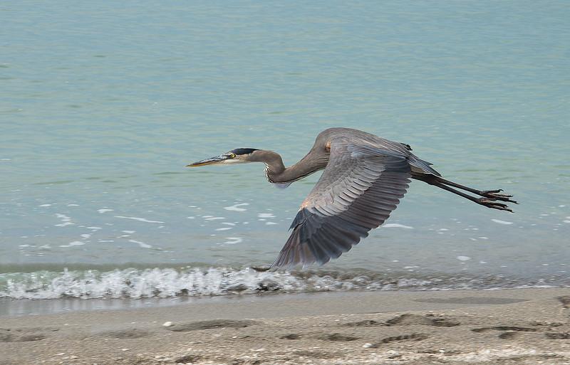 Grey Heron / Graureiher