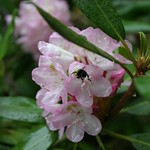 Rhododendron with insect