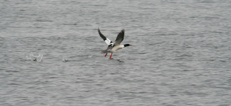 common merganser taking off 02