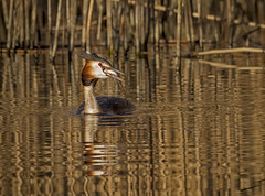 Great Crested Grebe Fishing