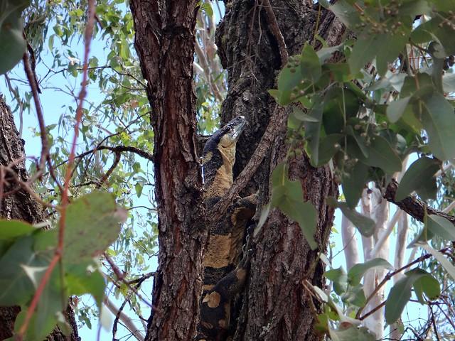 Goanna (Lace Monitor - Bells Form (Varanus varius)
