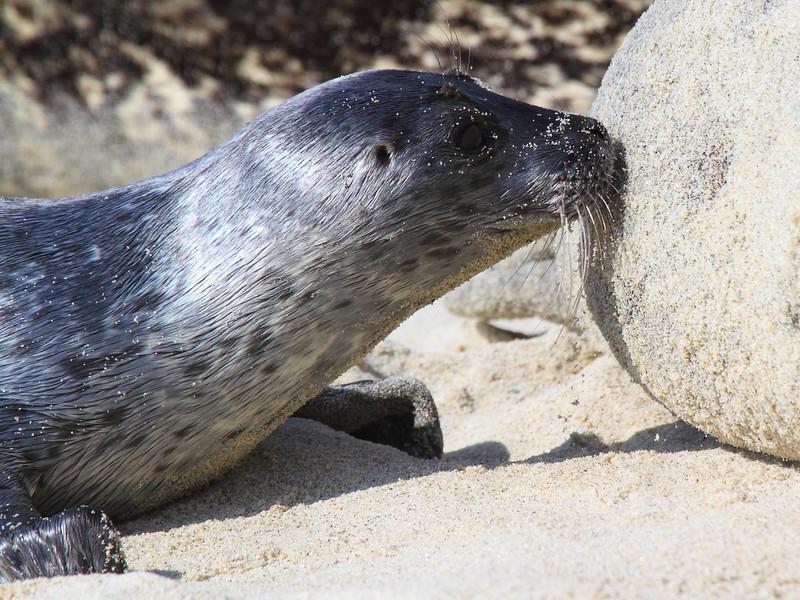 IMG_0189 Harbor Seal Pup