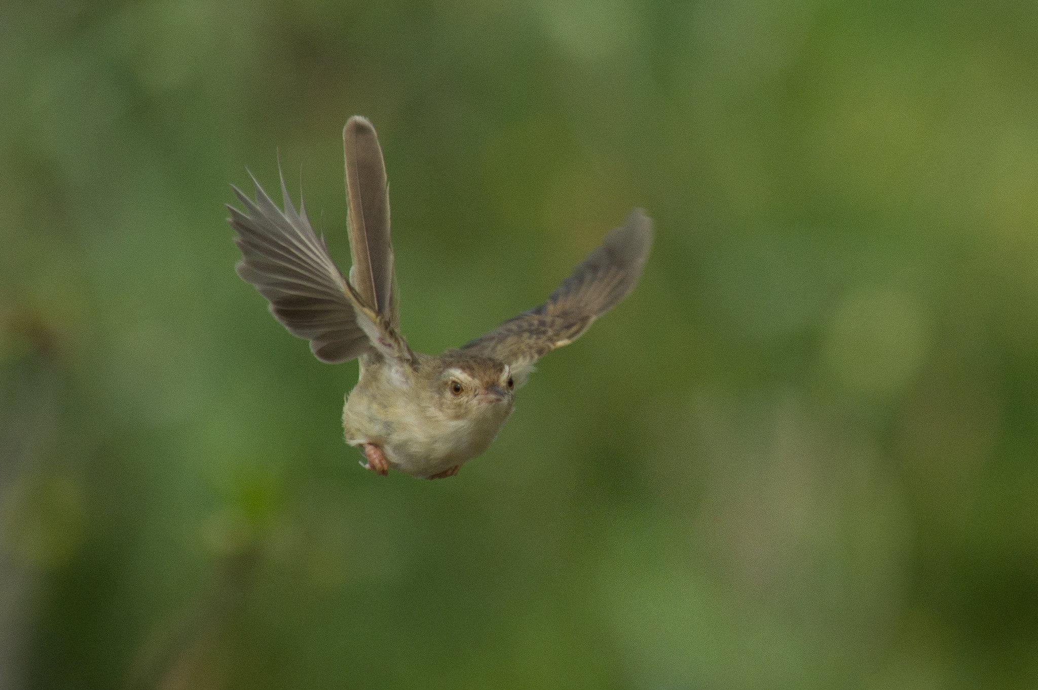 台北褐頭鷦鶯