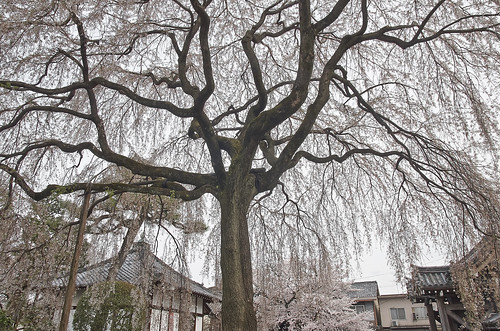 【写真】桜 : 本満寺