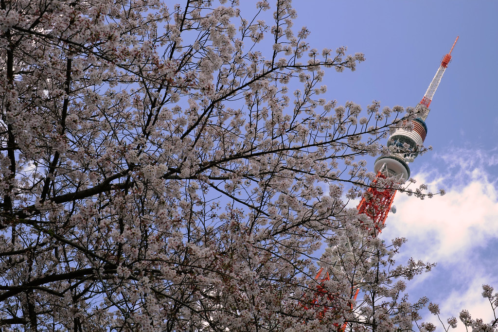 A glimpse of Hanami and the Tokyo Tower