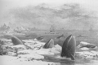 加州灰鯨在其夏季繁殖地點。這是捕鯨人斯卡蒙船長於一八七四年在其書中描繪太平洋海洋哺乳動物的圖示。 圖片來源:Scammon, C.M. (1874) The Marine Mammals of the North-western Coast of North America. Dover Publications Inc.,New York, 1968.