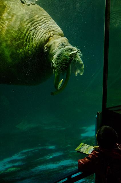 セイウチ walrus