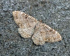 70.121 Scallop Shell - Hydria undulata