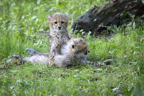 Geparden (Jungtiere)