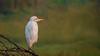 Cattle Egret ( உண்ணிக்கொக்கு )