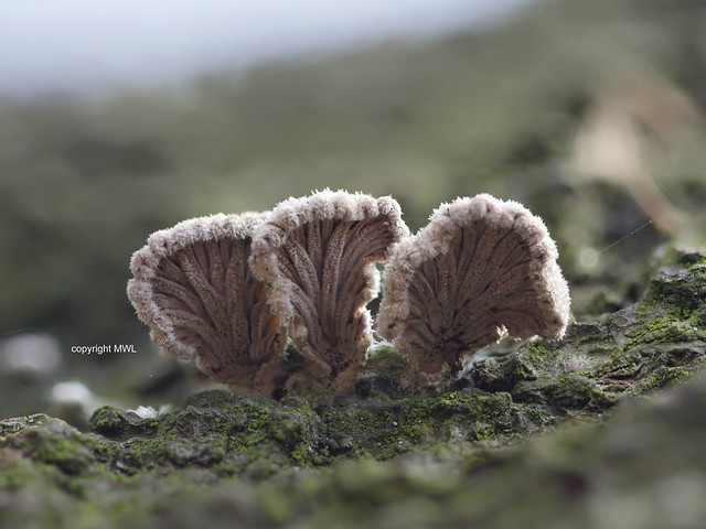 Schizophyllum commune, bottom view