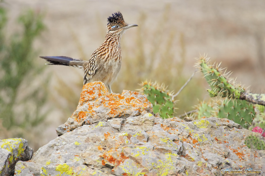 Greater Roadrunner 050513-01