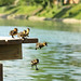 IMG_7171 Famille colvert by kadely
