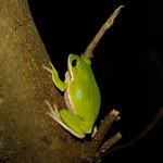 樹幹上的諸羅樹蛙。(攝影:吳仁邦)