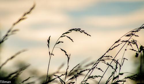 sunset field grass northcarolina pasture spikelet