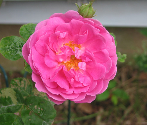 Bubblegum Flower. by Leenechan