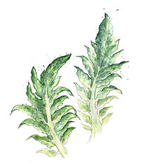 Edible Plants: Cardoon Leaves