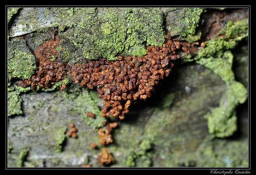 Copeaux dus à la chenille de Enarmonia formosana sous l'écorce d'un cerisier