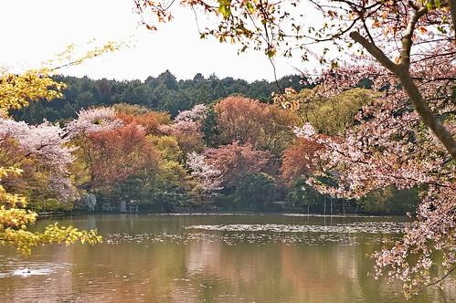 【写真】2013 桜 : 龍安寺/2020-01-22/IMGP9831