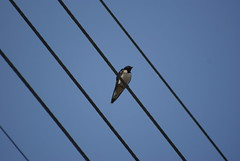 Swallow - Photo of Cardroc
