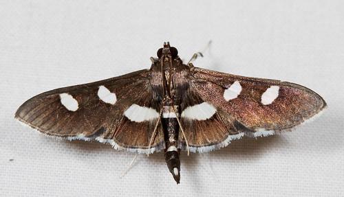 insect nc moth july northcarolina lepidoptera fieldtrip pyraustinae coastalplain eol bmna crambidae canonefs60mmf28macrousm desmia medocmountain grapeleafroller taxonomy:genus=desmia medoc20130710