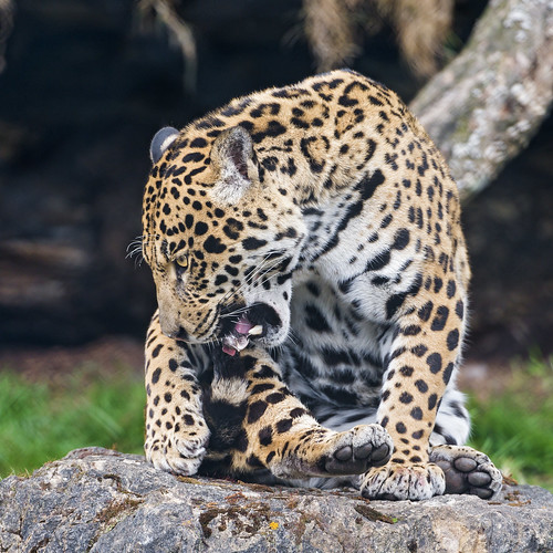 Napo biting his tail by Tambako the Jaguar