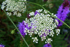Queen Anne's Lace ~ Wild Carrot