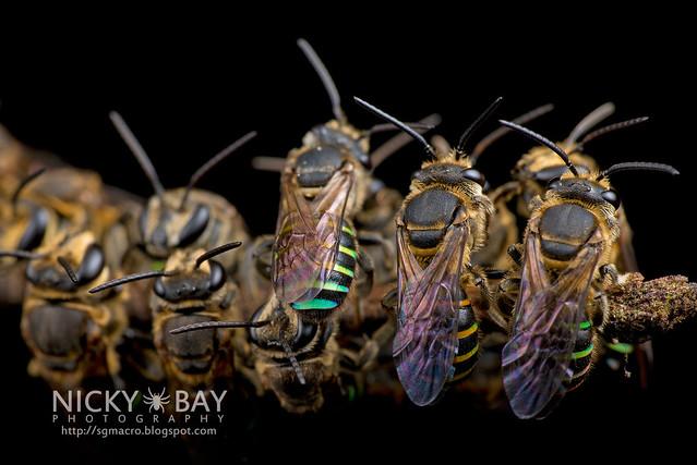 Sweat Bees sleeping (Halictidae) - DSC_2011