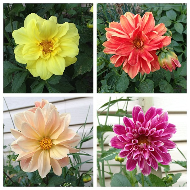 I finally have dahlias this year. Second time's a charm.