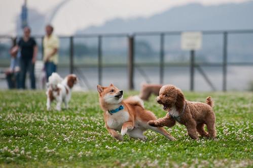 _CSC6237-2柴犬+貴賓