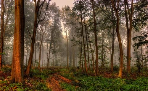 Misty Woodland Morning