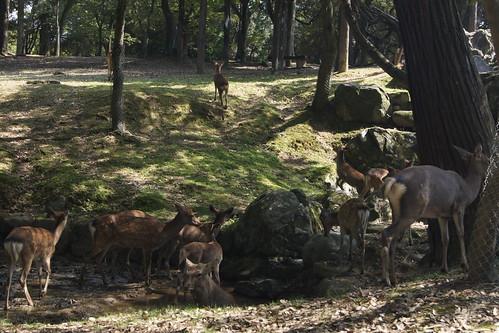 Nara Deer Park DSC03576
