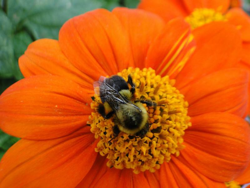 Zinnia haageana  Aztec Sunset  Botanic Garden Brooklyn NY 39 22oc13_107