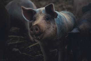 O Szymuszku-Świniuszku