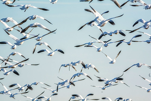 A Sky Full of Snow Geese
