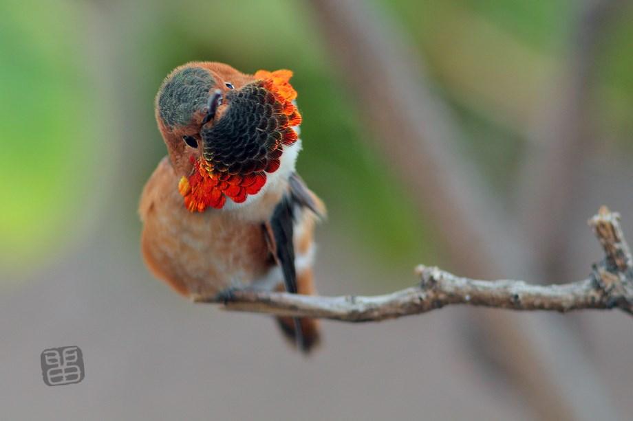 Allen's Hummingbird 020414-2