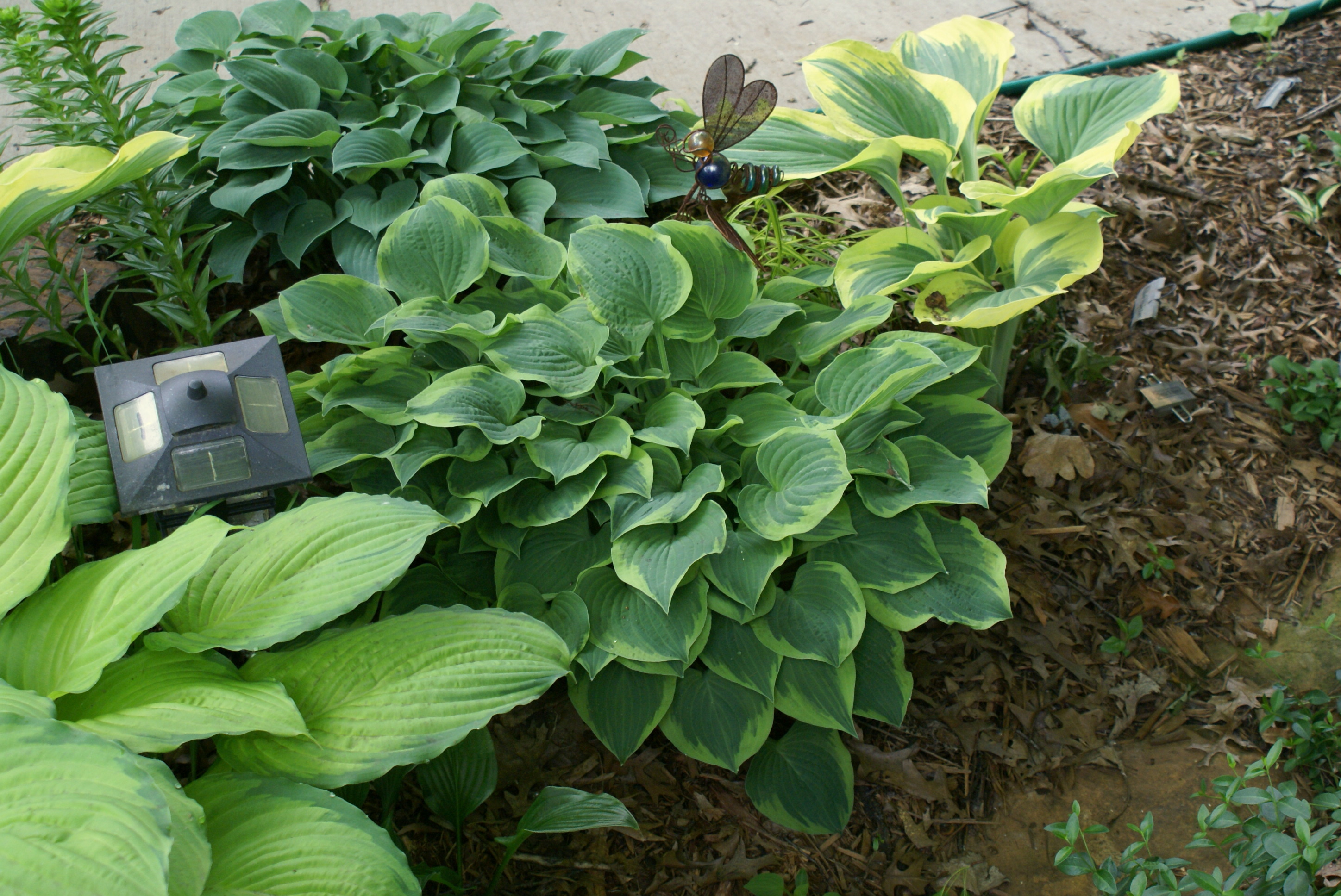 Hosta 'Veronica Lake' (05)-001