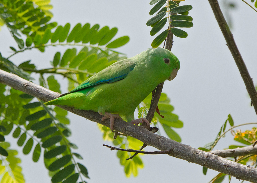 Blue Winged Parrotlet 2014-01-25