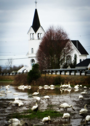 03-09-14 Sunday Swans by roswellsgirl