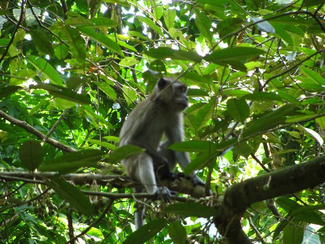 patriarch monkey