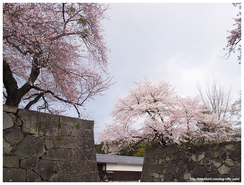 Cherry blossoms 140404 #02