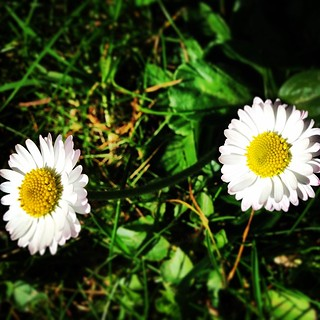Have a great week everyone, here's a happy smiling daisy chain in the garden #blackrock #dublin #ireland #wild #flora #flowers #irish