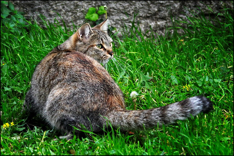 Cat from San Marino